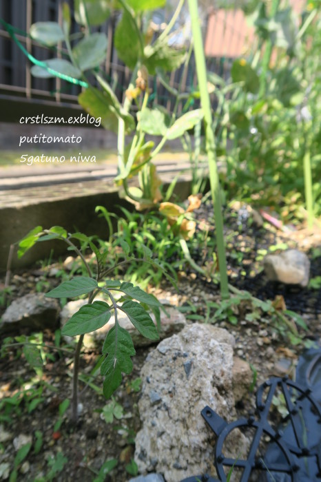 今年のグリーンカーテン_e0348754_13504448.jpg