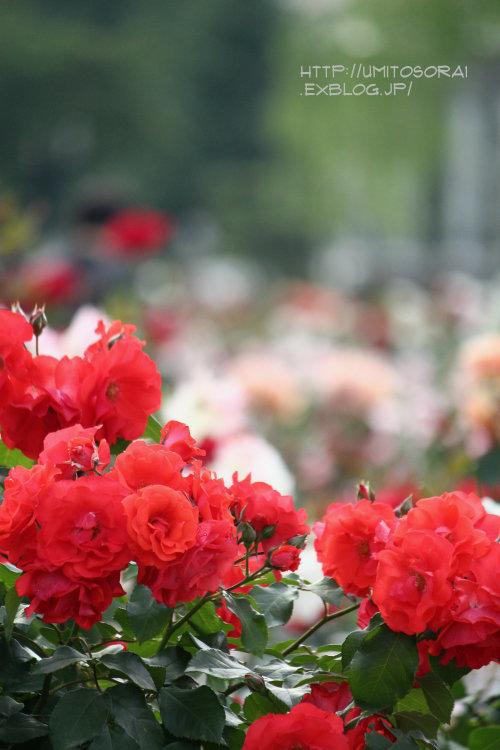 薔薇の向こうに_b0324291_10535807.jpg