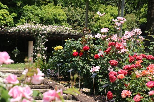 オバマ大統領の広島訪問の意義、英断に感動・・・北山緑化植物園の美しいバラ_d0181492_21125565.jpg