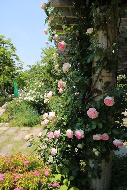 オバマ大統領の広島訪問の意義、英断に感動・・・北山緑化植物園の美しいバラ_d0181492_2114015.jpg
