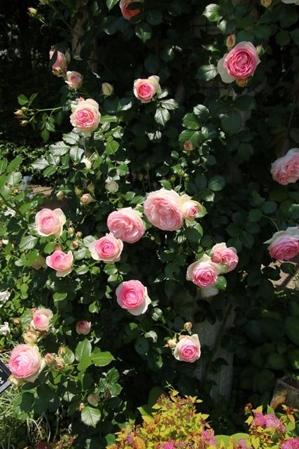 オバマ大統領の広島訪問の意義、英断に感動・・・北山緑化植物園の美しいバラ_d0181492_21141510.jpg