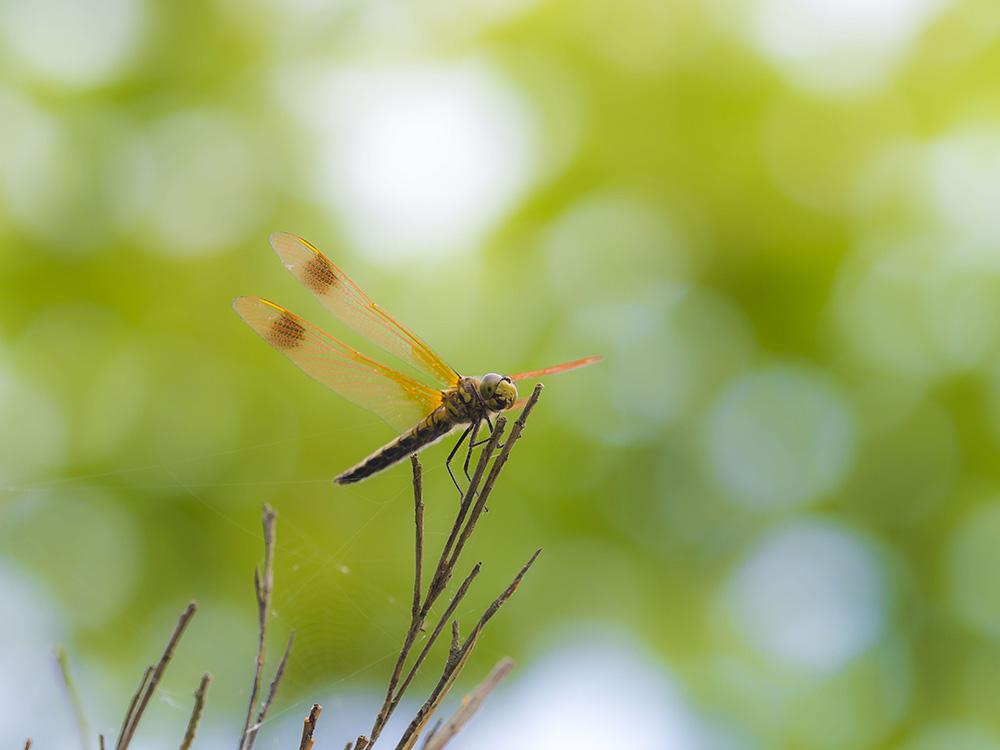トンボ沼 その他の昆虫たち_f0324026_20575489.jpg