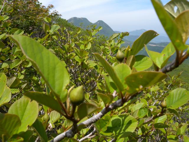 平治岳&北大船山&大船山! ミヤマキリシマは一分咲き!_e0272335_1113945.jpg