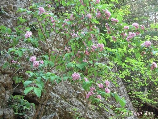 山では、タニウツギ 2016年5月23日_a0164068_2255290.jpg