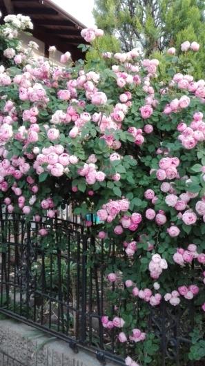 晴天続きのおかげ?花が長く楽しめます。_e0356469_07233643.jpg