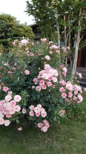 晴天続きのおかげ?花が長く楽しめます。_e0356469_07241504.jpg