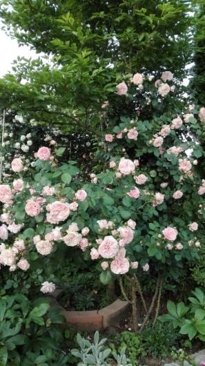 晴天続きのおかげ?花が長く楽しめます。_e0356469_07242578.jpg