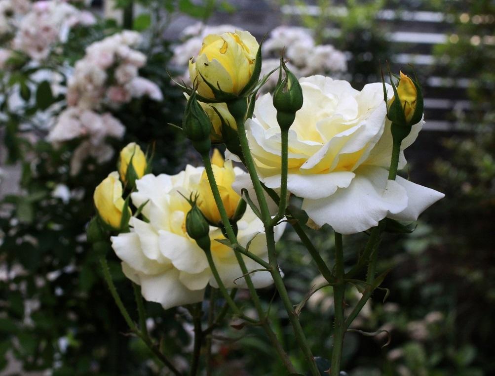 好きな色・好きな花    ~ミツバシモツケ、キアヤメ、カスク・ドール~_a0107574_21133810.jpg