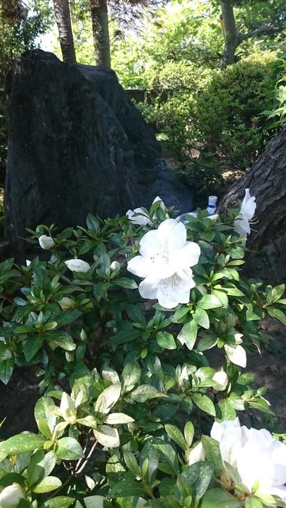 庭、白い皐月、初夏_c0066693_843888.jpg