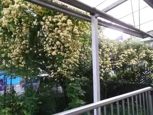 庭のモッコウバラが満開です_f0019498_1854140.jpg