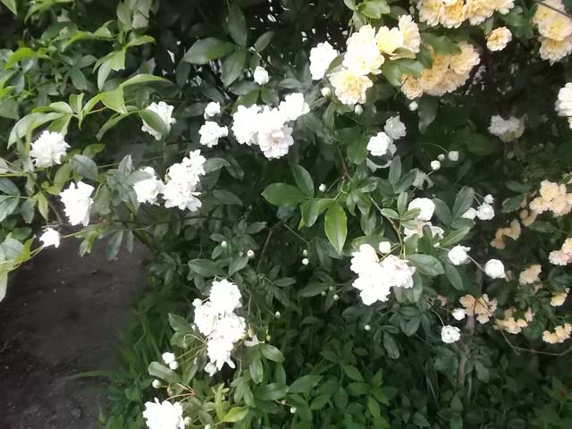 庭のモッコウバラが満開です_f0019498_18593985.jpg
