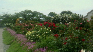 豊科のバラ園_c0289116_21353110.jpg
