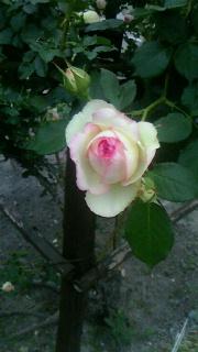 豊科のバラ園_c0289116_21353190.jpg