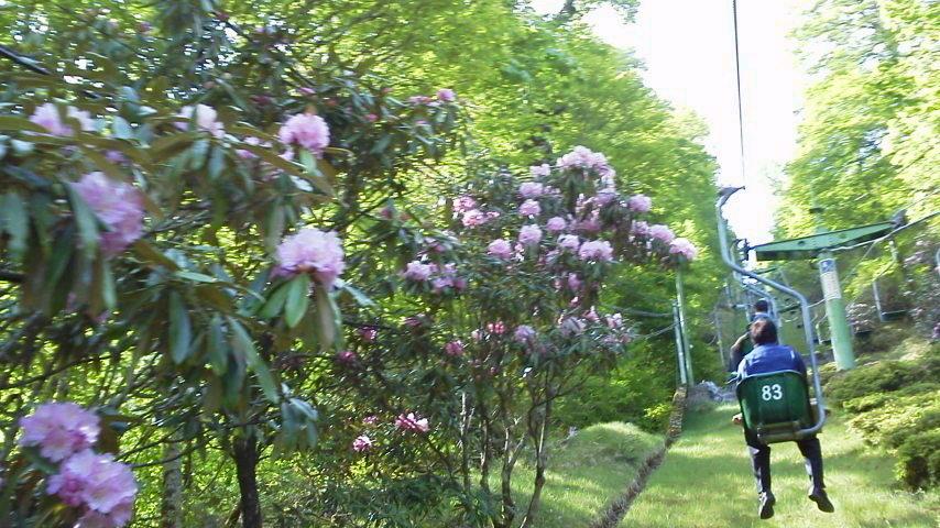 5月24日。リフトのシャクナゲが花盛り。_c0089831_8295761.jpg