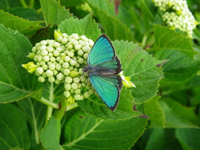 ミドリシジミ 5月24日の庭にて_d0254540_19131551.jpg