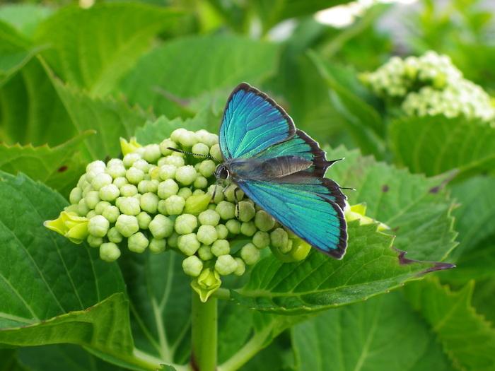 ミドリシジミ 5月24日の庭にて_d0254540_19134522.jpg