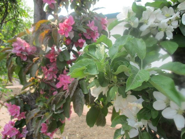 お庭の様子とデザート作り_a0279743_6452015.jpg