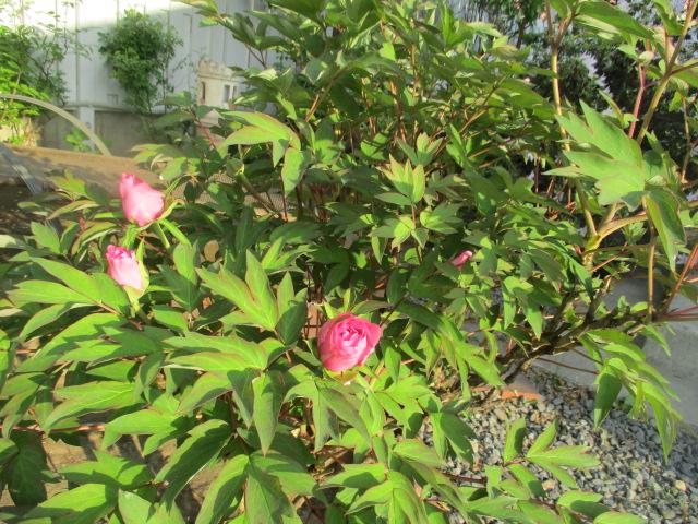 お庭の様子とデザート作り_a0279743_65013100.jpg