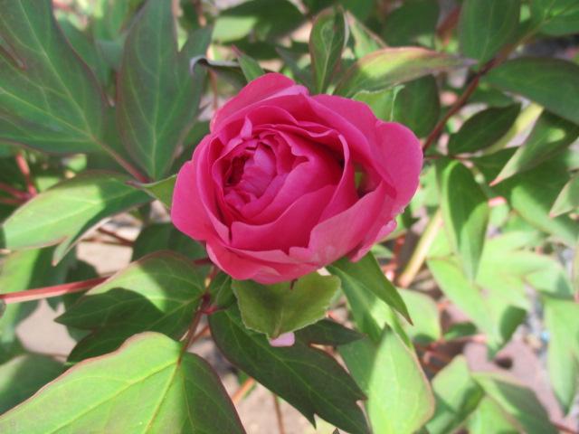 お庭の様子とデザート作り_a0279743_6505530.jpg