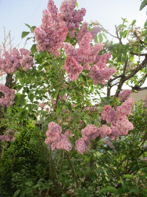 お庭の様子とデザート作り_a0279743_6565238.jpg