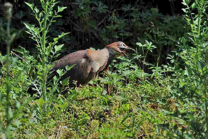ミゾゴイ・・・美しい鳥さんではありませんけれど_c0233349_9591010.jpg