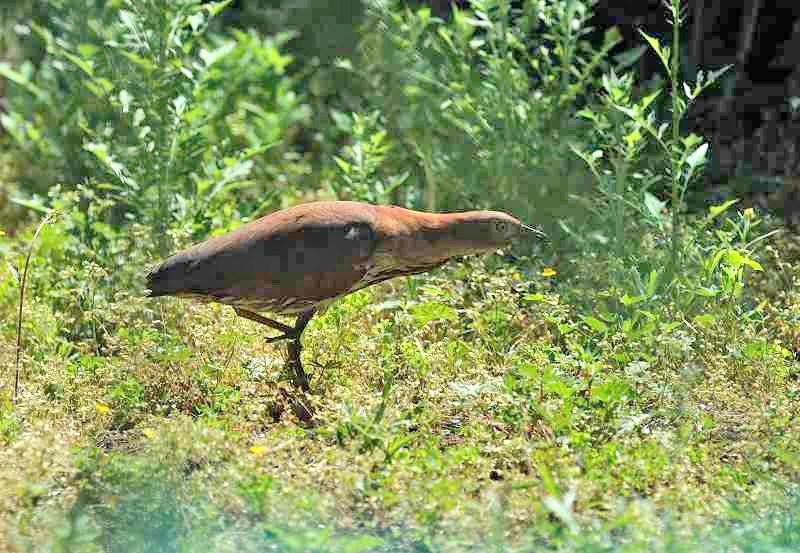 ミゾゴイ・・・美しい鳥さんではありませんけれど_c0233349_9592247.jpg