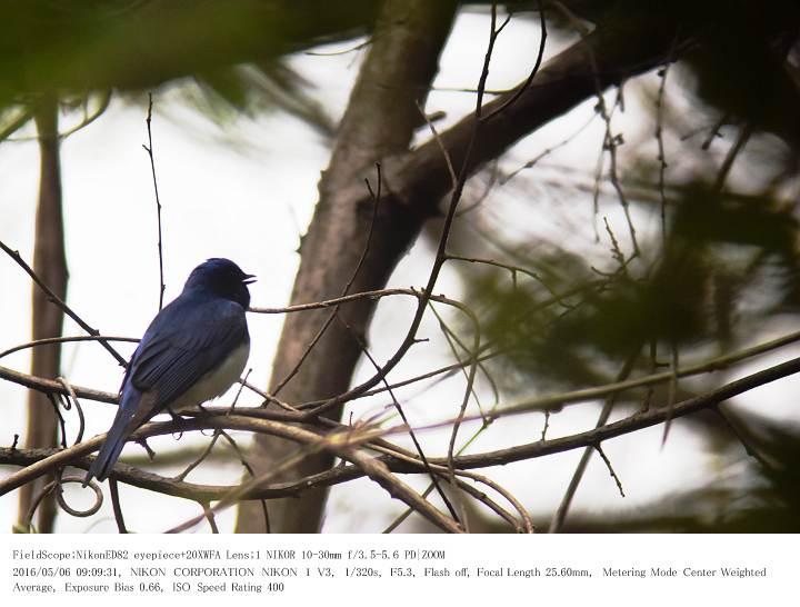 軽井沢・野鳥の森 2016.5.6(1)_c0062451_20121372.jpg