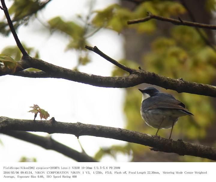 軽井沢・野鳥の森 2016.5.6(1)_c0062451_20153120.jpg