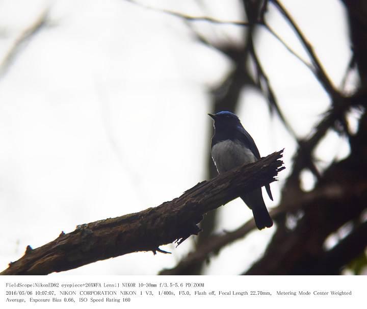 軽井沢・野鳥の森 2016.5.6(1)_c0062451_20165854.jpg