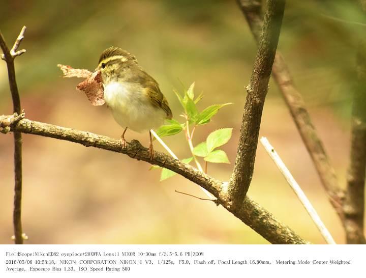 軽井沢・野鳥の森 2016.5.6(1)_c0062451_20212744.jpg