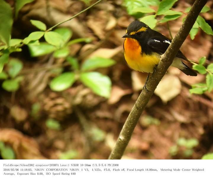 軽井沢・野鳥の森 2016.5.6(1)_c0062451_2022343.jpg