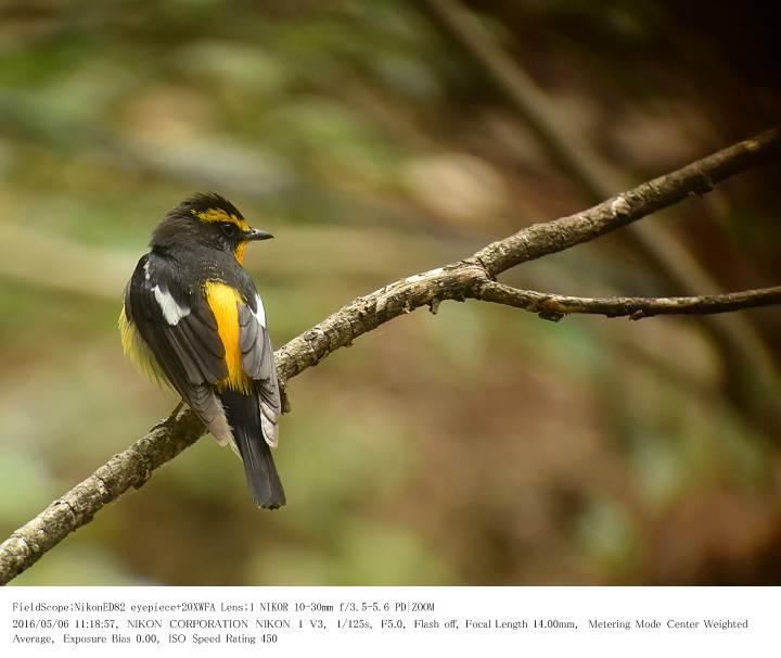 軽井沢・野鳥の森 2016.5.6(1)_c0062451_20252415.jpg