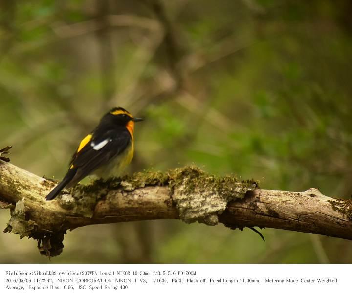 軽井沢・野鳥の森 2016.5.6(1)_c0062451_20265853.jpg
