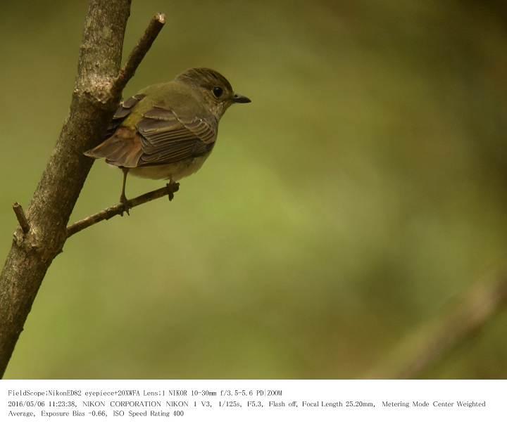 軽井沢・野鳥の森 2016.5.6(1)_c0062451_20311247.jpg