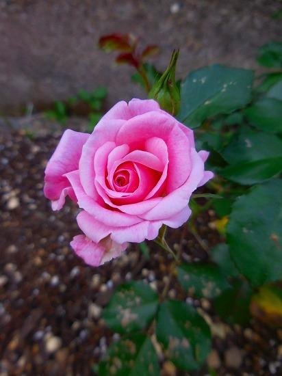今朝の庭_c0327752_11271553.jpg