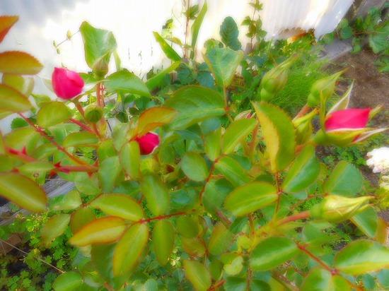 今朝の庭_c0327752_11292386.jpg