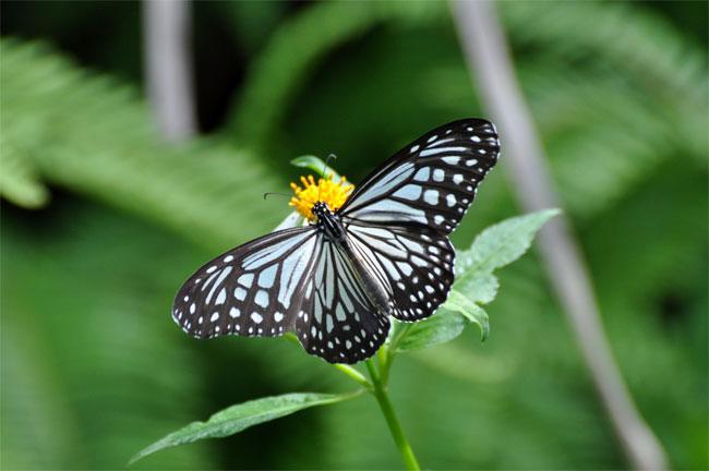 西表島憧れの蝶探し。_e0194952_20511919.jpg