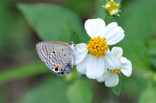西表島憧れの蝶探し。_e0194952_2052437.jpg