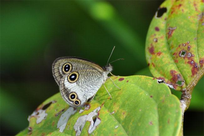 西表島憧れの蝶探し。_e0194952_20531460.jpg