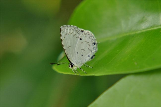 西表島憧れの蝶探し。_e0194952_2053583.jpg