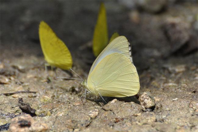 西表島憧れの蝶探し。_e0194952_20555557.jpg