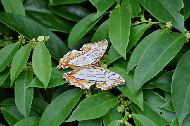 西表島憧れの蝶探し。_e0194952_2055666.jpg