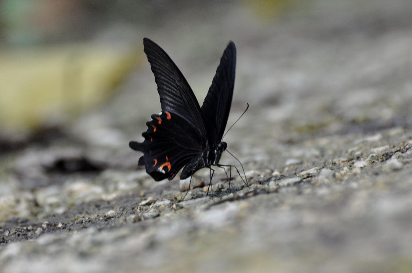 西表島憧れの蝶探し。_e0194952_20564596.jpg