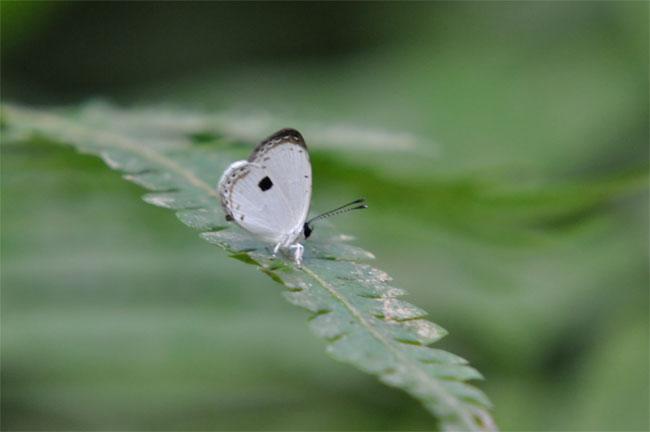西表島憧れの蝶探し。_e0194952_2057219.jpg