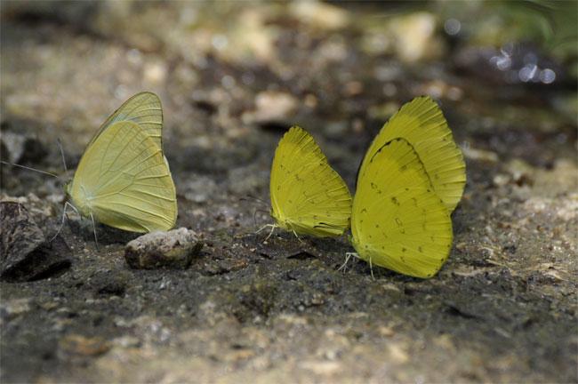 西表島憧れの蝶探し。_e0194952_2058238.jpg
