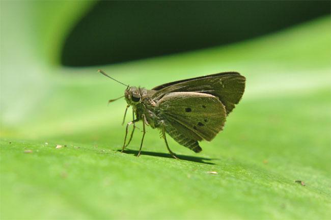 西表島憧れの蝶探し。_e0194952_2151535.jpg