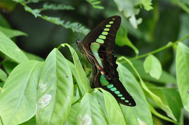 西表島憧れの蝶探し。_e0194952_2161923.jpg
