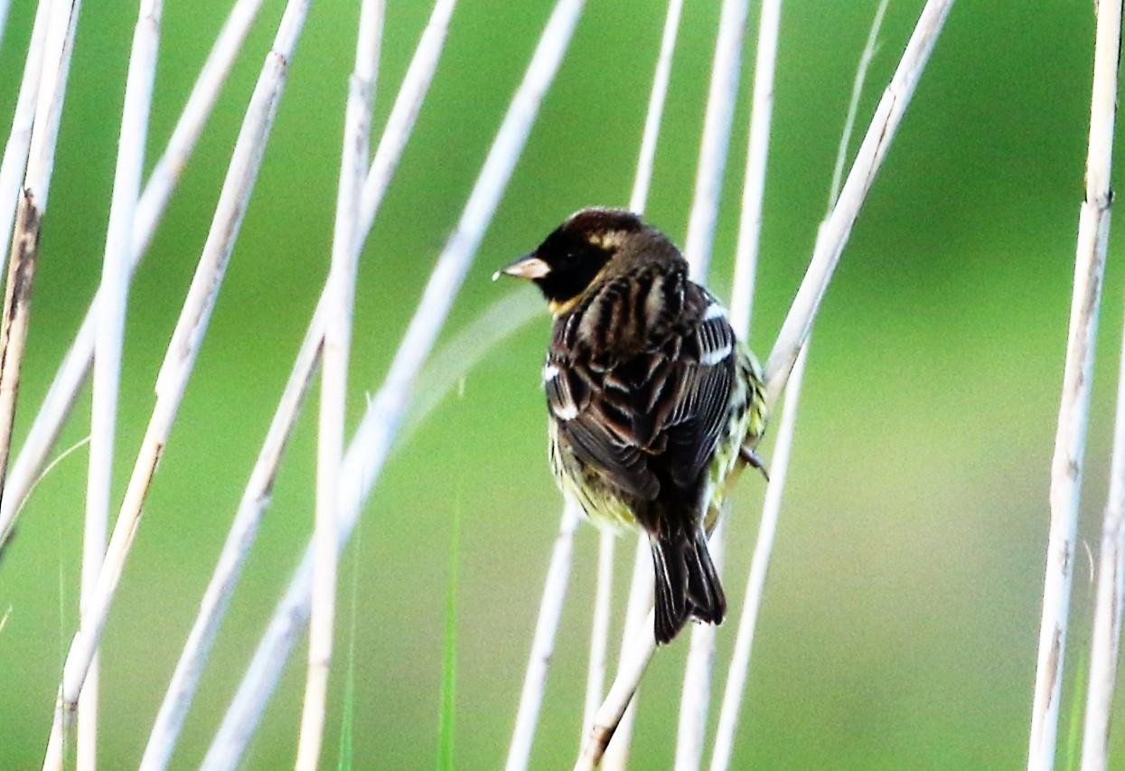 見島で出会った可愛い小鳥ちゃん_e0018678_16391420.jpg