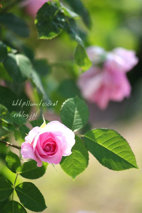 美しい薔薇たち_b0324291_00453595.jpg