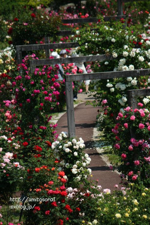 美しい薔薇たち_b0324291_00453999.jpg